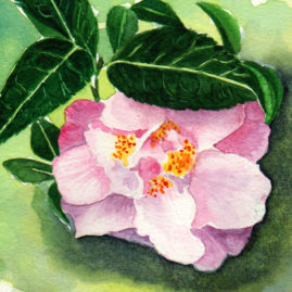 #WorldWatercolor Month July17 Pink Camelia