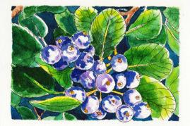 #WorldWatercolorMonth July1 Purple Berries