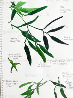 gumleaves sketch studies