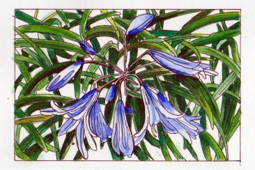 #WorldWatercolor Month July 7 Agapanthus