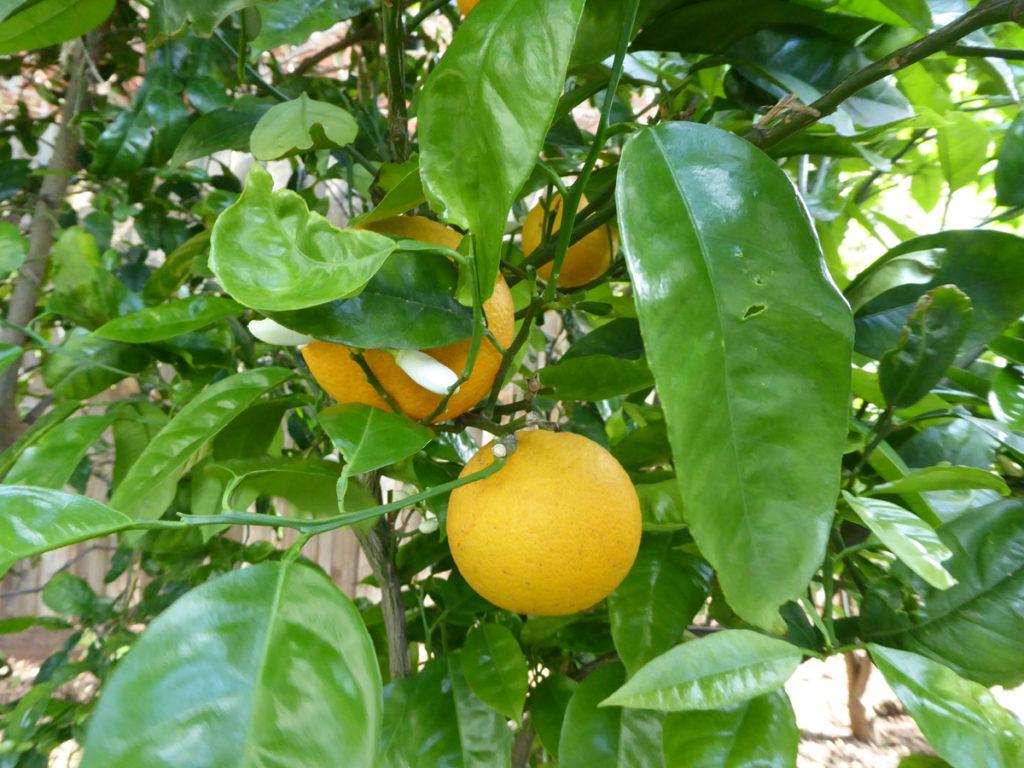 oranges reference photo ©KarenSmith
