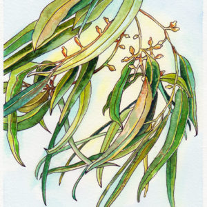 Watercolour painting of gum leaves by Karen Smith